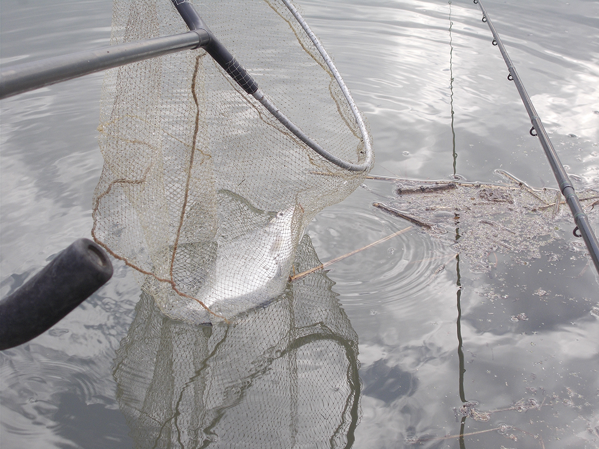 Středně velký cejn z přístavu. Na vyzvednutí a pouštění ryby, kterou si nehodláme ponechat, vždy používejme podběrák.