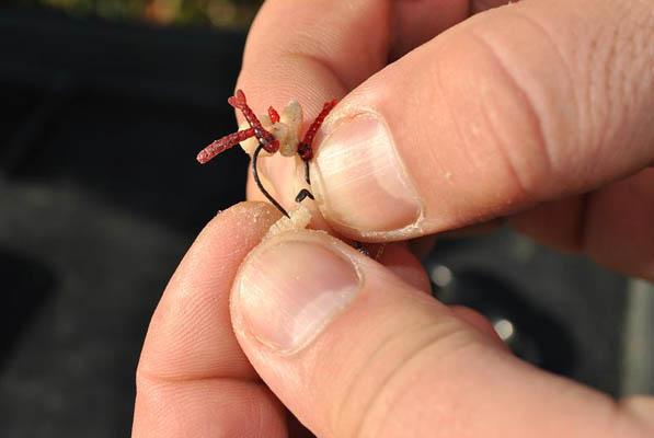 Pe maggot rig înșirăm viermi vii și larve roșii de plastic, astfel încât să obținem o ușoară flotabilitate a momelii.