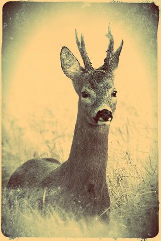 2-old deer