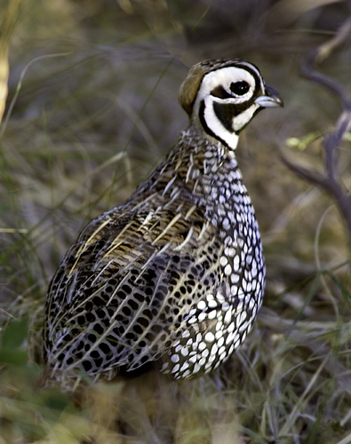 Ocellted-quail