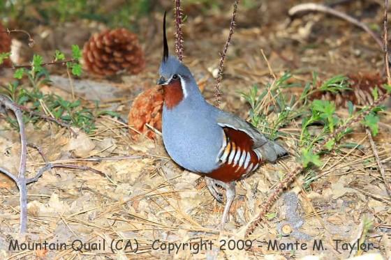 quail_mountain_male_spring_california_6a