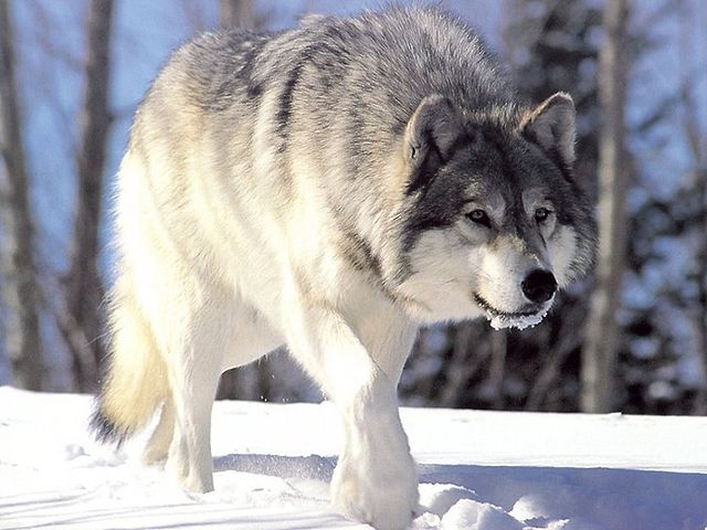 Canis lupus(es.wikipedia.org)