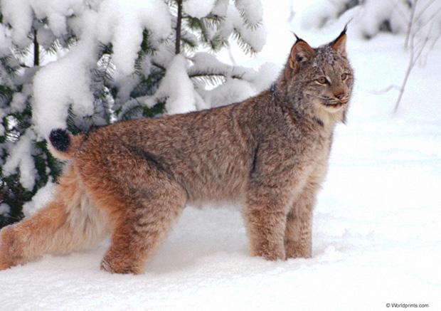 Lynx lynx (www.exoticpetplus.com)