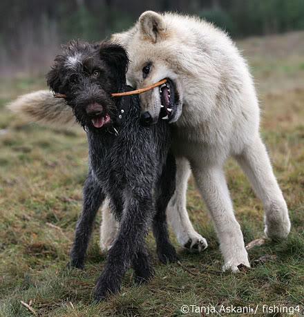 1 tanja_askani_wolf_dog_friends2