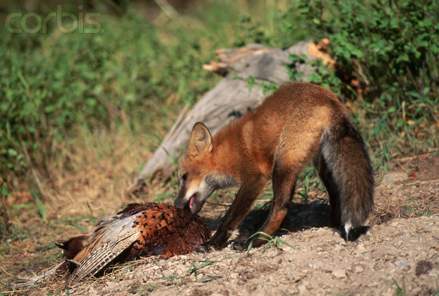 Red Fox Eats Ring-necked Pheasant