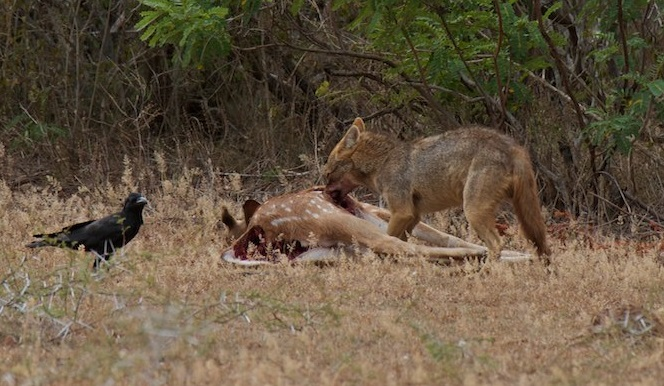 Golden_jackal_&_Chital_carcass_2
