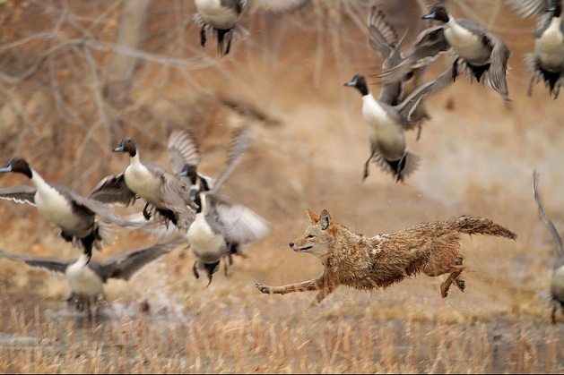 coyote-vs-pintails